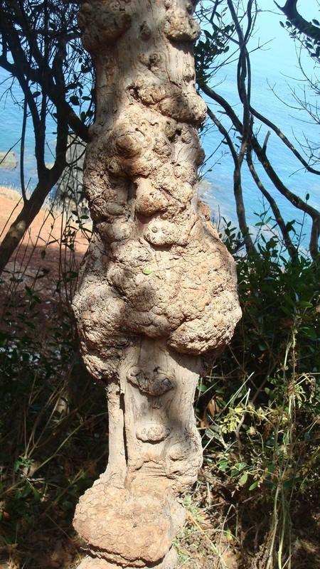Pied d 39 arbuste de myrte myrthus communis for Myrte arbuste