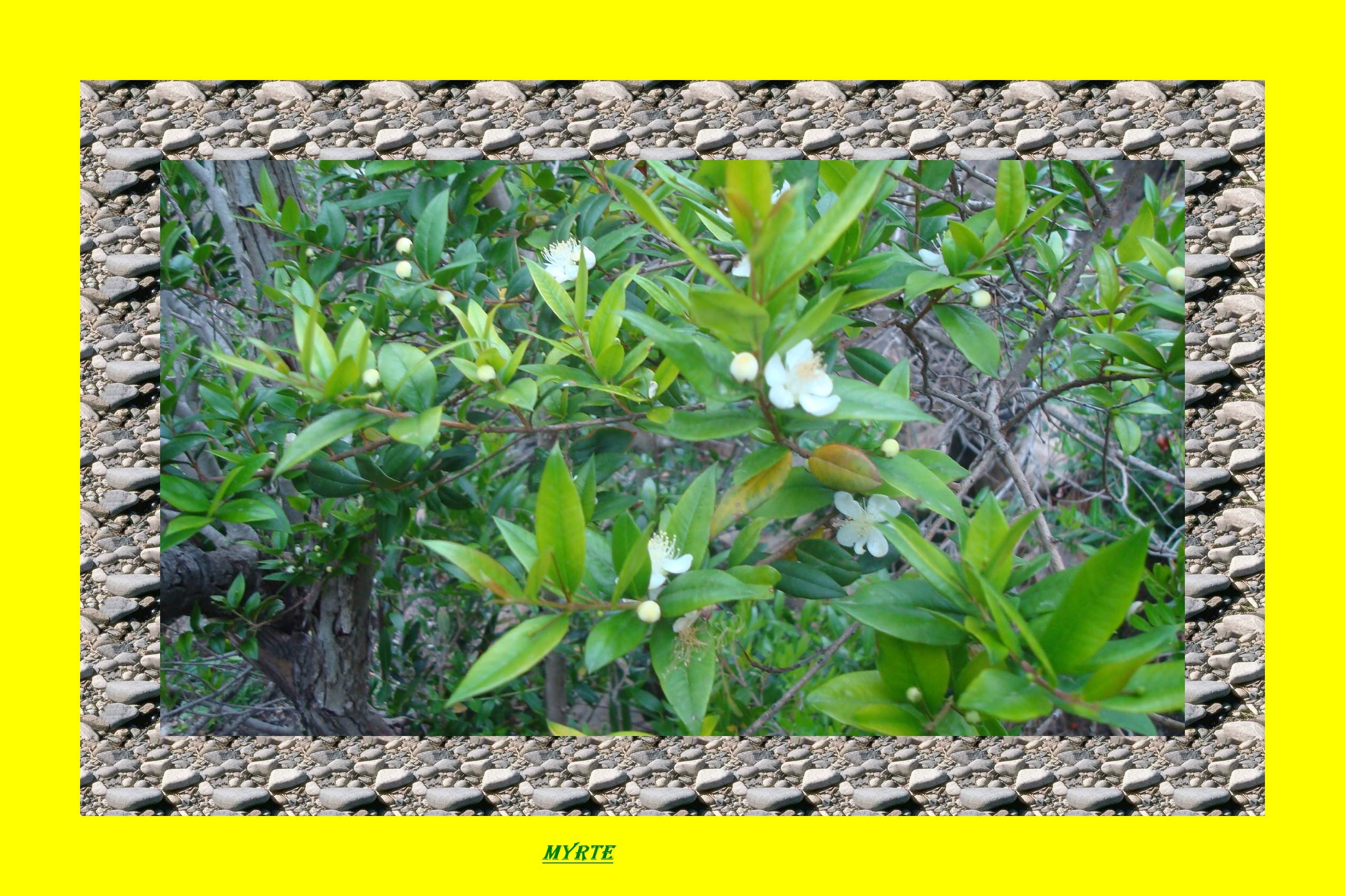 Myrte myrtus communis for Myrte arbuste